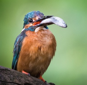 Kingfisher, Eisvogel