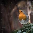 Rotkehlchen, Robin, birds, birdwatching