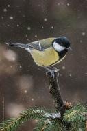 Kohlmeise, birds, birdwatching