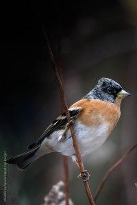 Bergfink,birds, birdwatching