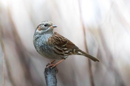 Heckenbraunelle, birds, birdwatching
