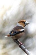 Kernbeisser, bird, birdwatching