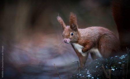Wildlife, Eichhörnchen