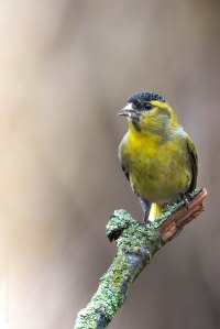 Erlenzeisig, bird, birdwatching