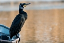 Komoran, Wildlife,Birds