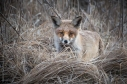 Fuchs, Wildlife