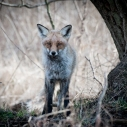 Jungfuchs, Fuchs, Wildlife