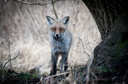 Jungfuchs, Fuchs, Wildlife