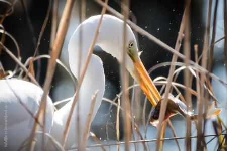 egret,wildlife