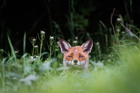Fuchs, Fox