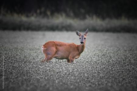 Reh, Wildlife