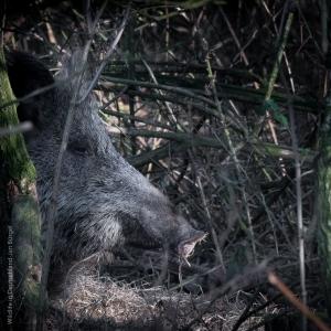 Wildschwein, Bache